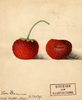 Strawberries, Van Deman (1891)