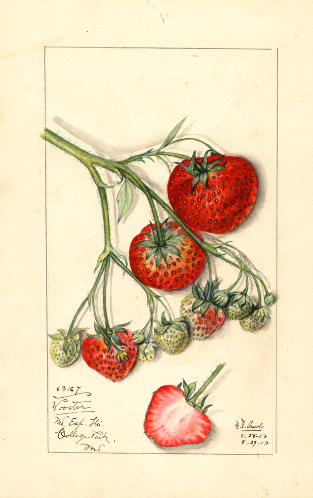 Strawberries, Wooster (1913)