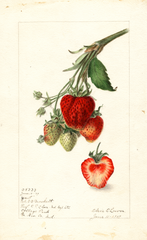 Strawberries, Yant (1907)