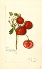Strawberries, Pennell (1915)