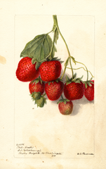 Strawberries, Phil-crates (1901)
