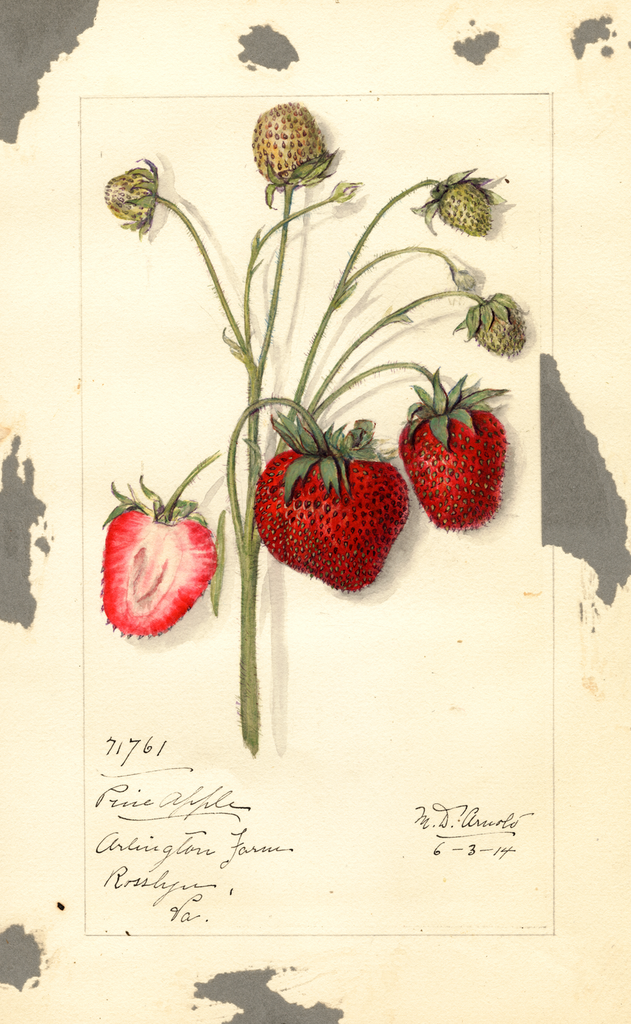 Strawberries, Pine Apple (1914)
