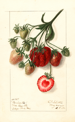 Strawberries, Pocahontas (1910)