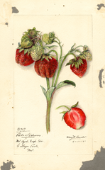 Strawberries, Pride Of Delaware (1916)