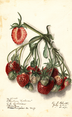 Strawberries, Ryckman (1907)