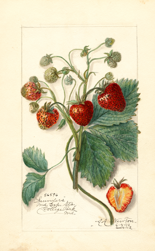 Strawberries, Saunders (1912)