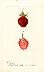 Strawberries, Seaford (1900)