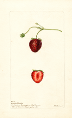 Strawberries, Senator Dunlap (1901)