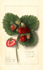 Strawberries, Shipping King (1911)