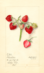 Strawberries, Silver Coin (1915)