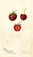 Strawberries, Staples (1900)
