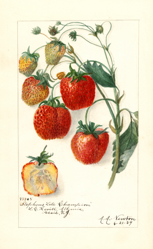 Strawberries, Stephens Late Champion (1909)