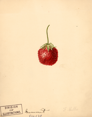 Strawberries, Summit (1891)