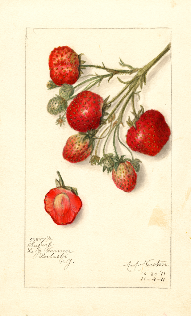 Strawberries, Superb (1911)