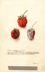Strawberries, Tennessee