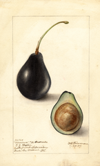 Avocados, Mexican No. 36 (1906)