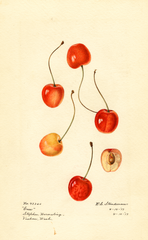 Cherries, Cass (1917)