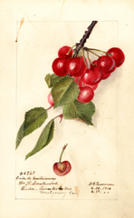 Cherries, Cerise De Montmorency (1910)