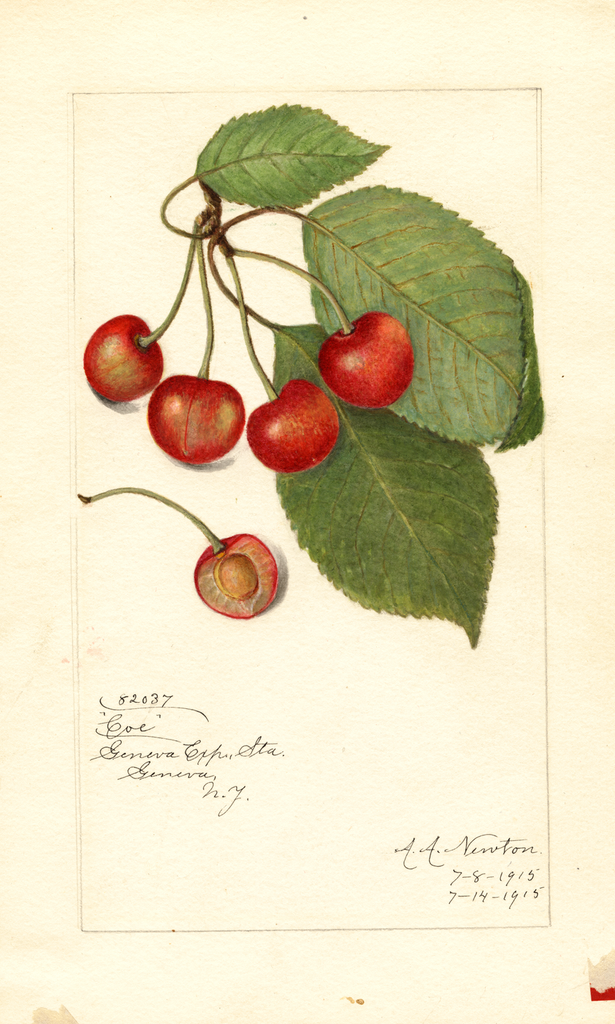 Cherries, Coe (1915)