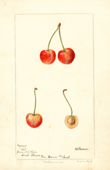 Cherries, Coe (1897)