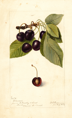 Cherries, Dikeman (1898)
