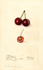 Cherries, Dikeman (1910)