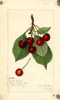 Cherries, Double Nattie (1915)