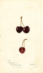 Cherries, Duraccia (1894)