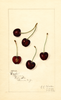 Cherries, Eagle (1916)