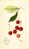 Cherries, Early Morello (1916)