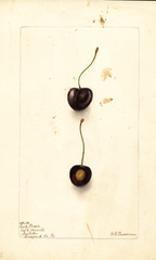 Cherries, Early Purple (1903)