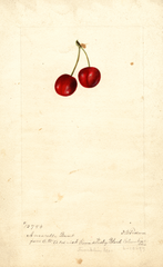 Cherries, Amarelle Bunt (1897)