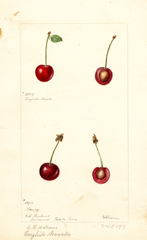 Cherries, English Morello (1897)