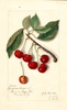 Cherries, Empress Eugene (1912)