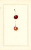 Cherries, Eveline