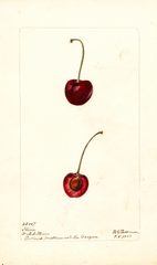 Cherries, Flinn (1902)