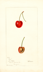 Cherries, Geer (1897)