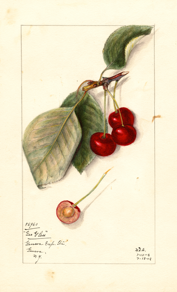 Cherries, George Glass (1912)