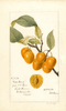 Cherries, Golden Beauty (1894)