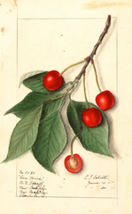 Cherries, Govenor Wood (1911)