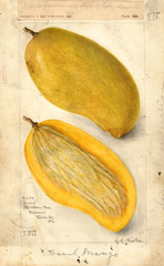 Mangoes, Cecil (1908)