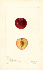 Plums, Excelsior (1901)