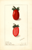 Strawberries, Kevitts Wonder (1908)