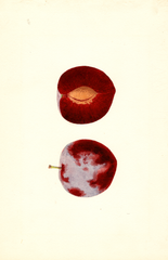 Plums, Flaming Delicious (1939)