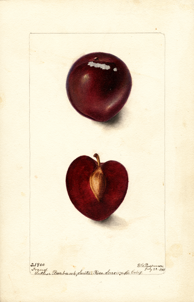 Plums, Fraud (1901)