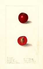 Plums, Free Silver (1908)