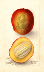 Mangoes, Perrine (1909)