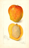 Mangoes, Peters No. 1 (1909)