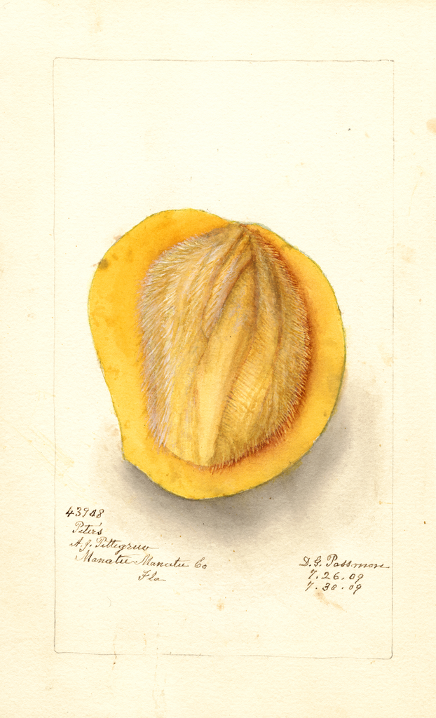 Mangoes, Peters (1909)