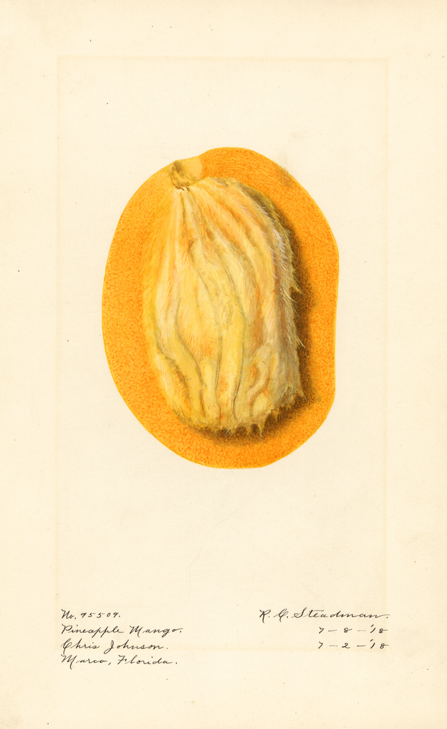 Mangoes, Pineapple Mango (1918)